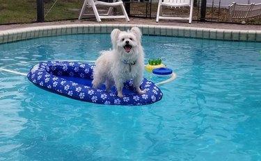 dog on pool floatie