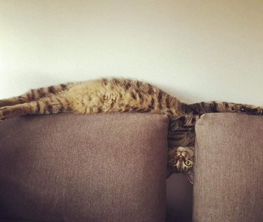 Cat laying on back of couch with head and neck tilted at a right angle between the cushions