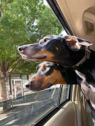 dogs stick head out car window