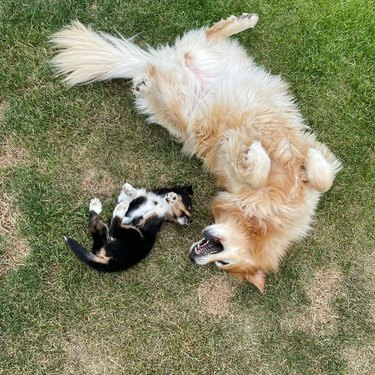 dogs rolling in grass