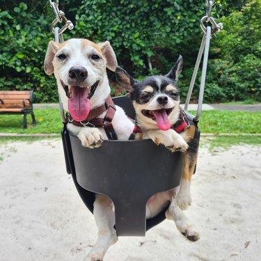 dogs in a swing