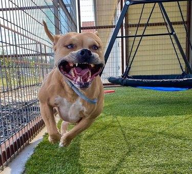 dog doing a happy run