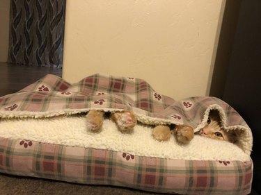cat sleeps in bed with built-in-blanket