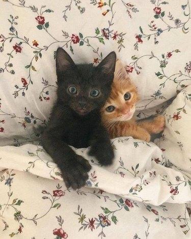 kittens sleep under blanket