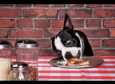 dog eating pizza from pan