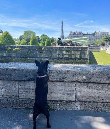 dog staring at Eiffel Tower