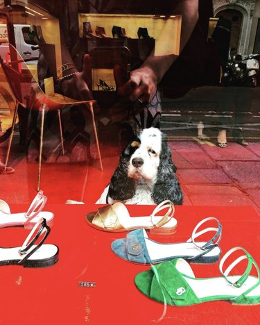 dog looking at shoes in a store window