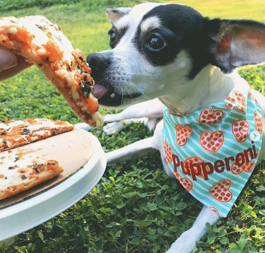 dog in pepperoni scarf eating pizza