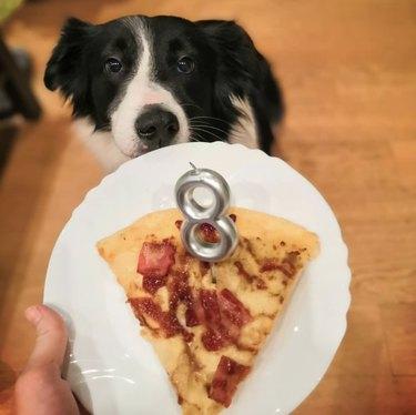 dog eating birthday pizza