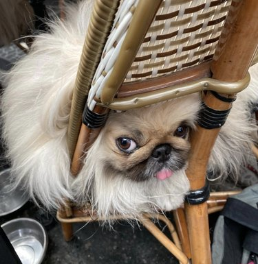 dog in cafe chair