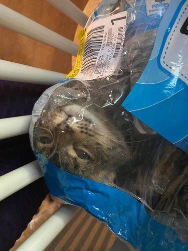 cat crawls into plastic packaging