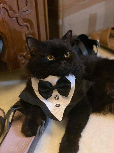 cat in tuxedo
