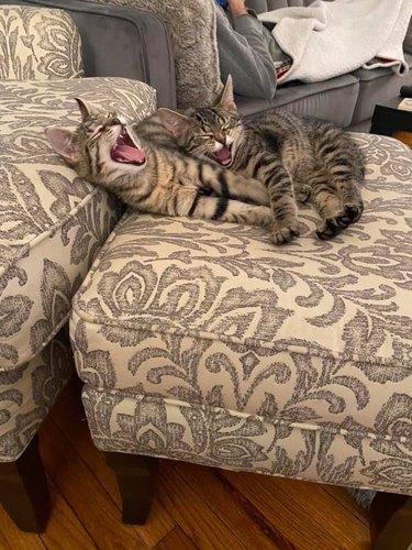 cats yawn at same time