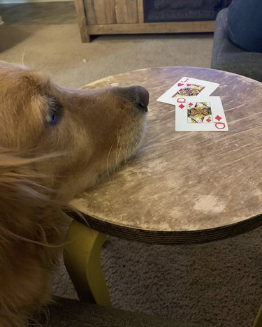 dog with a jack and queen cards