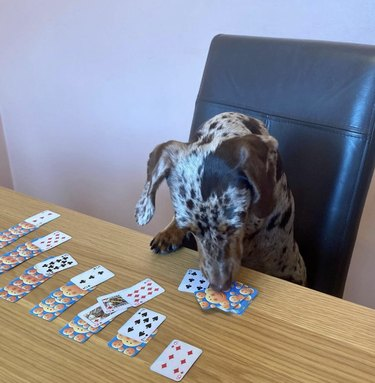 dog sniffing at cards