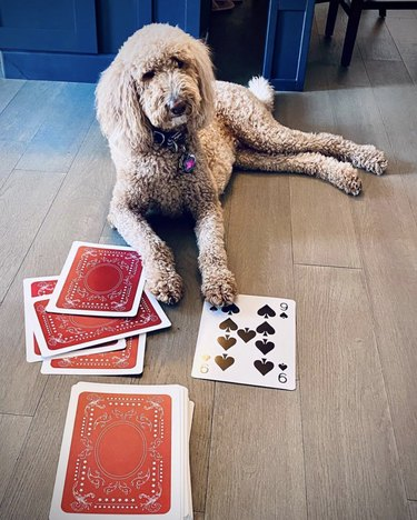 dog with oversize cards