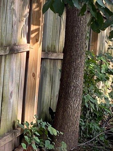 Dog hiding behind tree