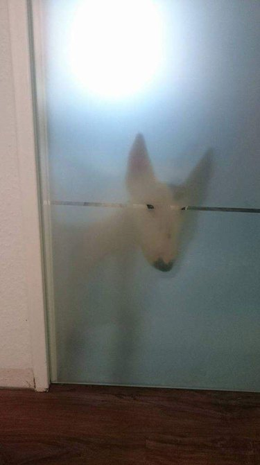 Dog behind frosted glass door