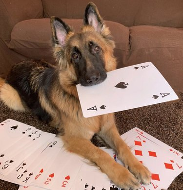 dog with oversize card in mouth