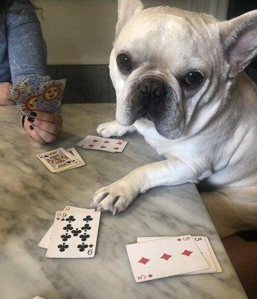 dog sitting at card table