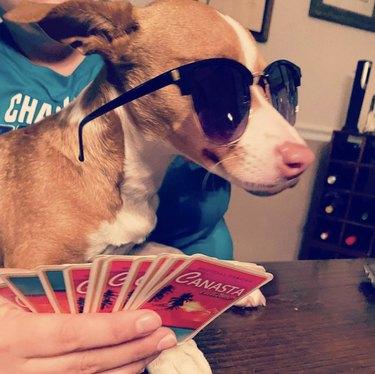 dog playing canasta