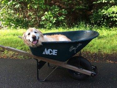 Old Golden Retriever laying in a wheelbarrow