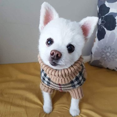 Small white dog wearing Burberry sweater