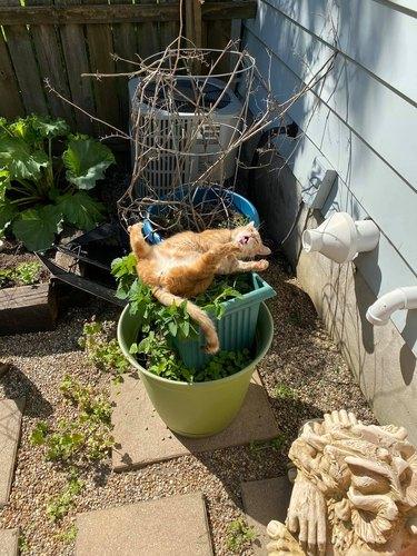 cat rolling on catnip plant