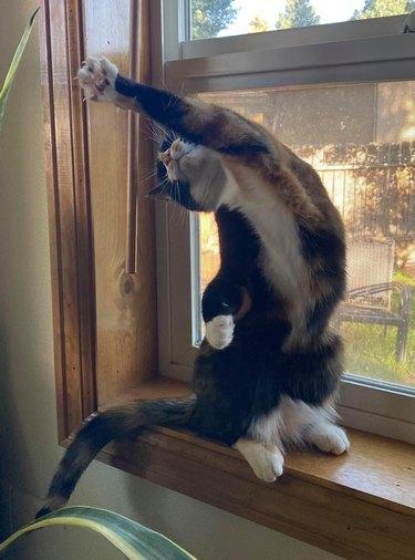 cat does yoga