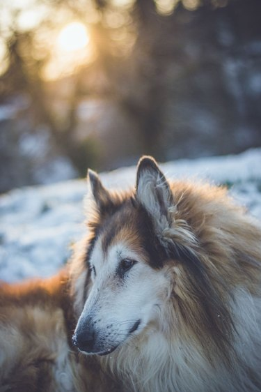 Handsome old Collie posing in the snow