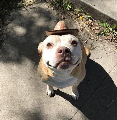 Old dog wearing miniature cowboy hat