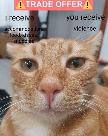 orange cat chooses violence meme