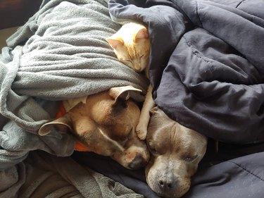 cat sleeps on pitbulls