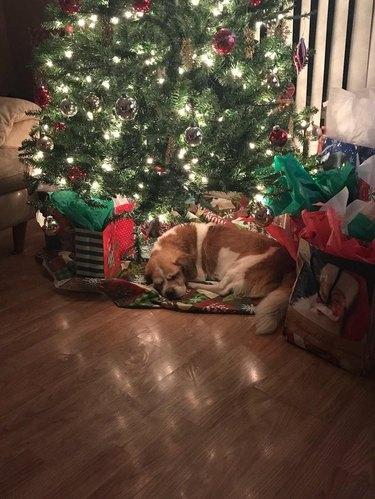 Old dog sleeping underneath Christmas tree