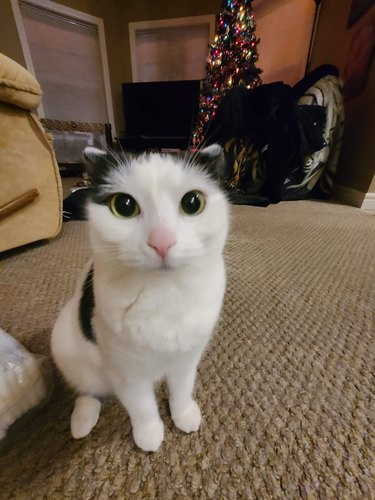 cat with flat ears