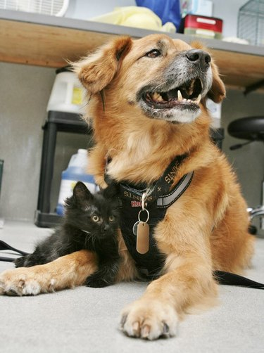 Old dog laying on floor with little black kitten