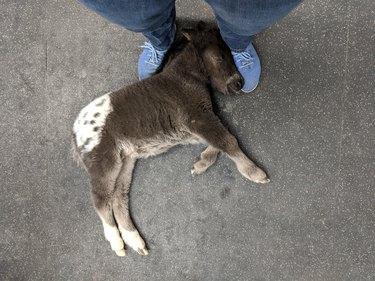 horse foal falls asleep on man's feet