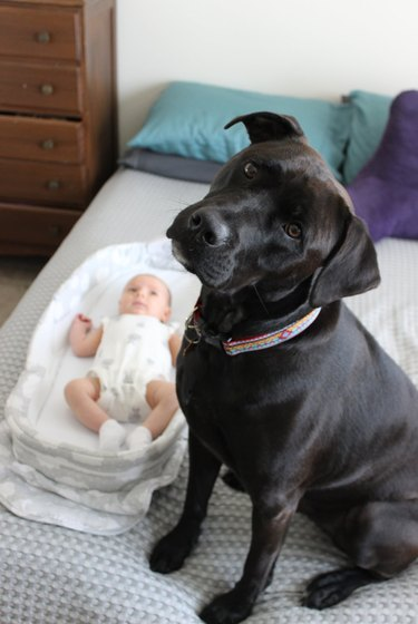 dog is protective of baby brother