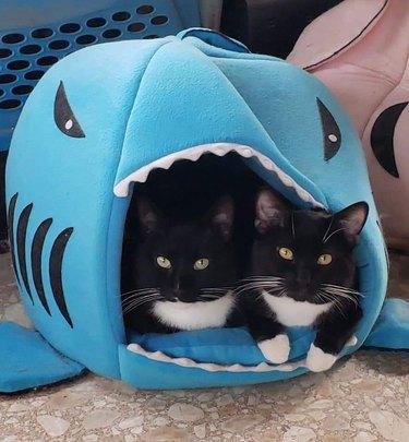 tuxedo cats in shark-shaped cat bed