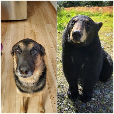 dog looks like bear