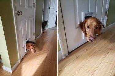 Dog with its head sticking through cat door