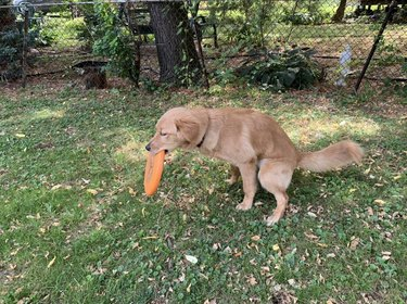 Dog holding a Frisbee in its mouth as it squats