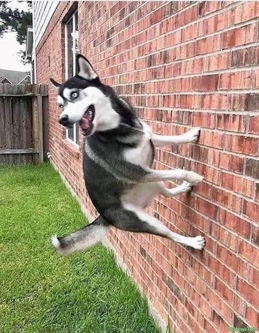 Husky rebounding off a brick wall