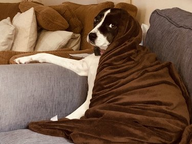 Dog lounging on couch draped in brown blanket