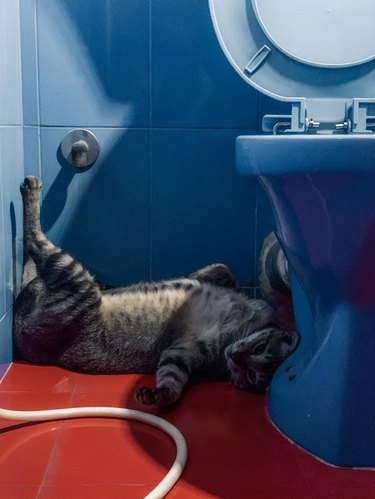 Cat laying on bright red bathroom floor next to sky blue toilet
