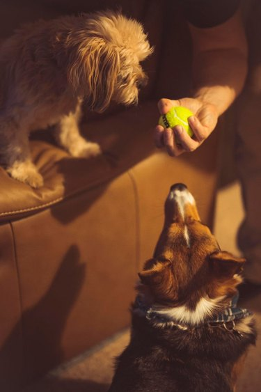 Two dogs focused intently on a tennis ball in someone's hand