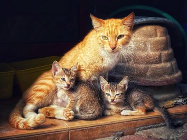 Ginger cat with two brown kittens