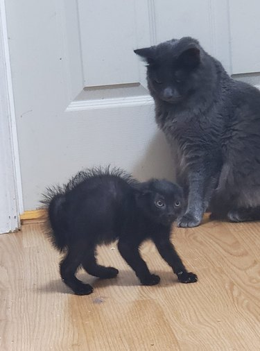 kitten nervous about meeting older cats