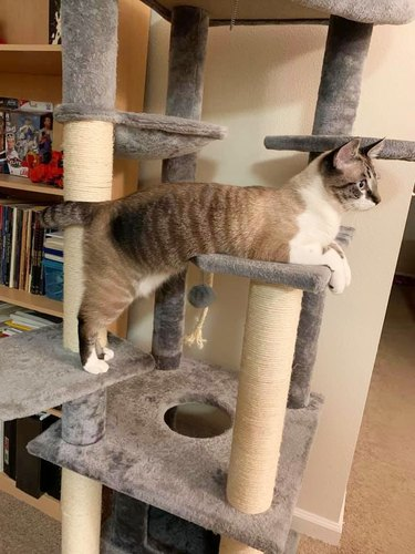 cat on two levels of cat tower at same time