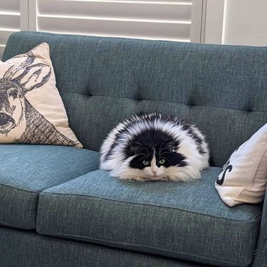 fluffy cat looks like skunk and porcupine at same time
